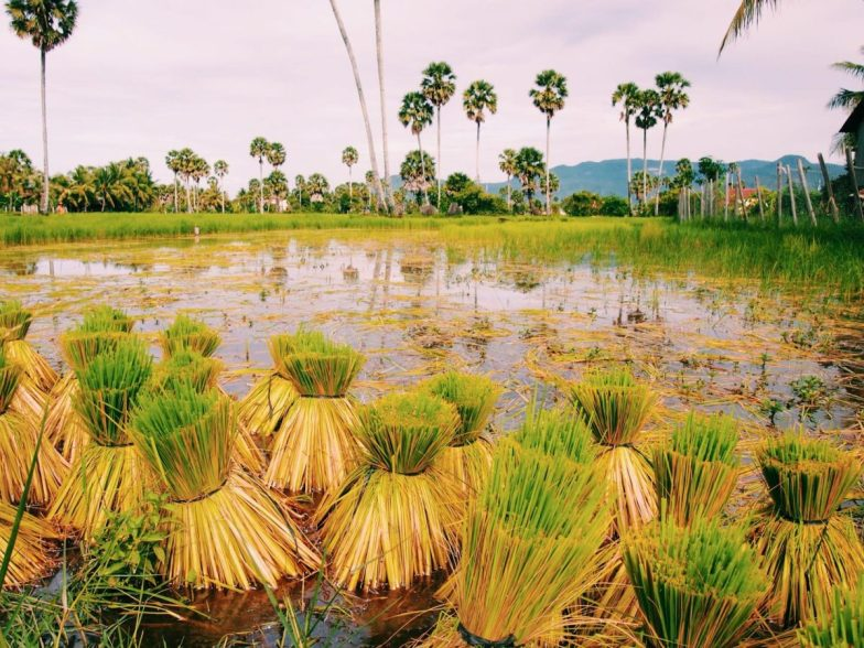 A green and yellow rice field in Kampot, Cambodia.