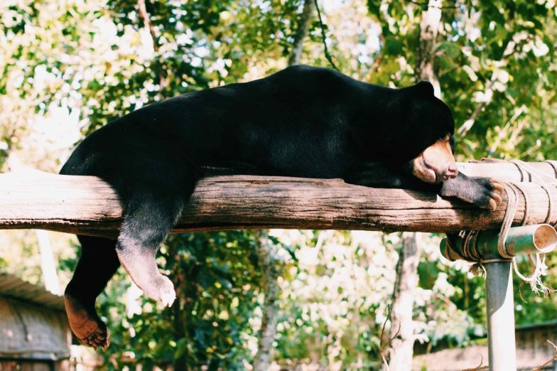 A black bear lounging on a log at Phnom Tamao Wildlife Rescue Center.