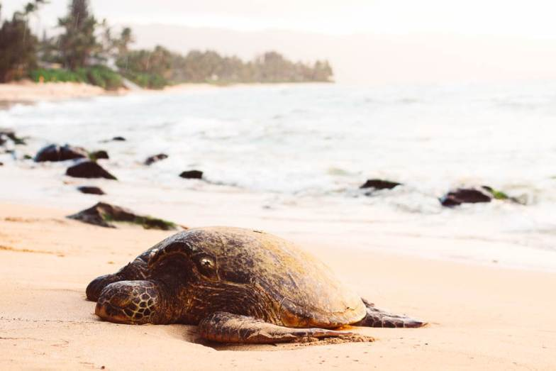 Sea turtle. Photo credit: Jeremy Bishop/Unsplash (edits made) (used under Creative Commons).   Oman road trip