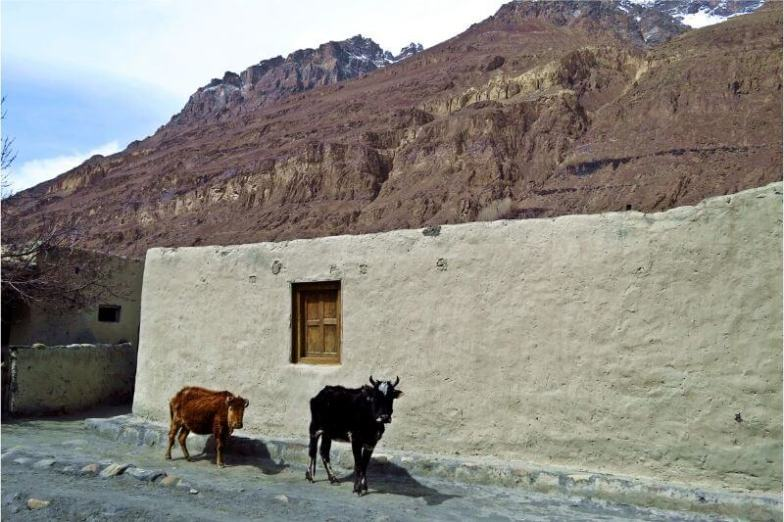 Two animals stand in front of an adobe wall against a backdrop of mountains in Pakistan.