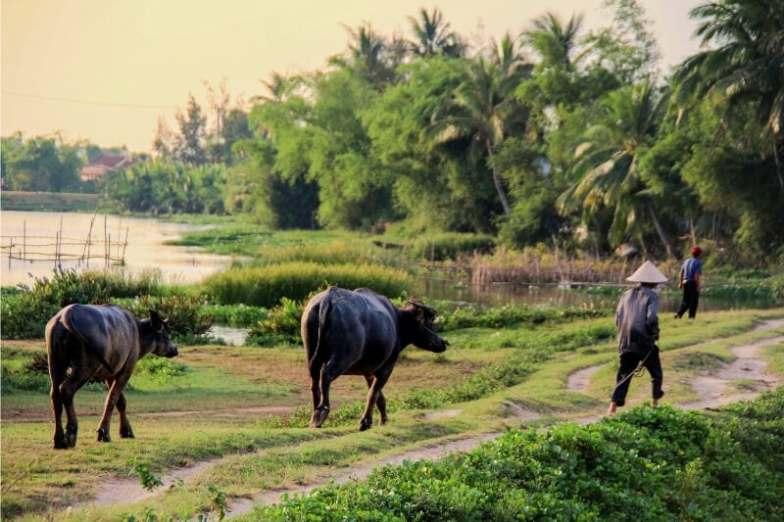 A man walks through a rice field leading two buffaloes.