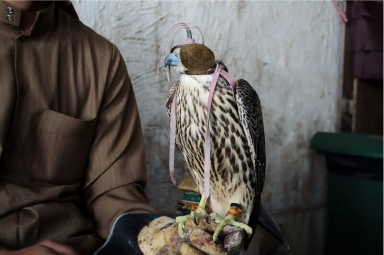 A man holds a falcon on his hand.