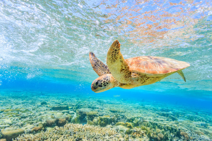 best places to see turtles on the great barrier reef near cairns 703x469 1