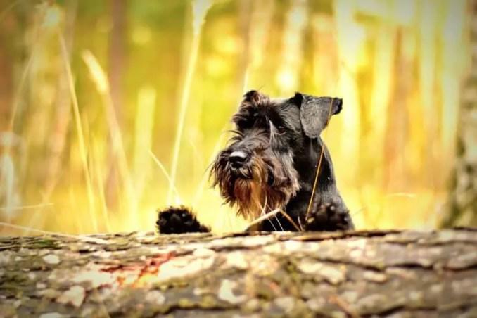 small hypoallergenic dog breeds