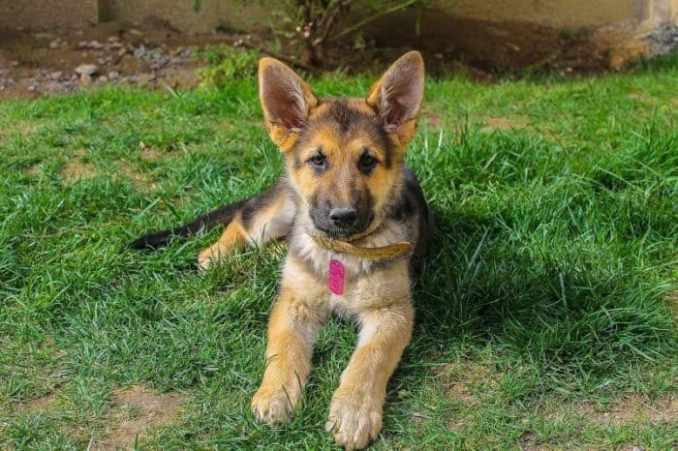 Long Haired German Shepherd And Puppies Care Guide Wander Daddy A Pet Lover Blog