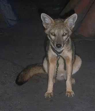 Hoary Fox