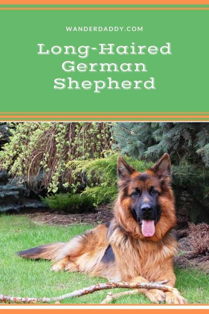 Long-Haired German Shepherd Guide