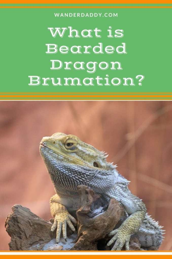 What is Bearded Dragon Brumation