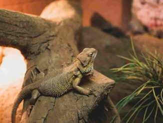bearded dragon lifespan
