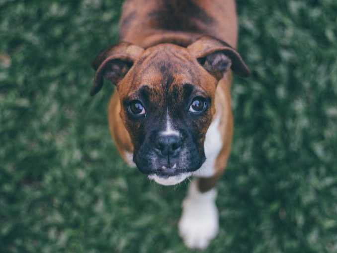 Best Dog Food For Boxers puppy