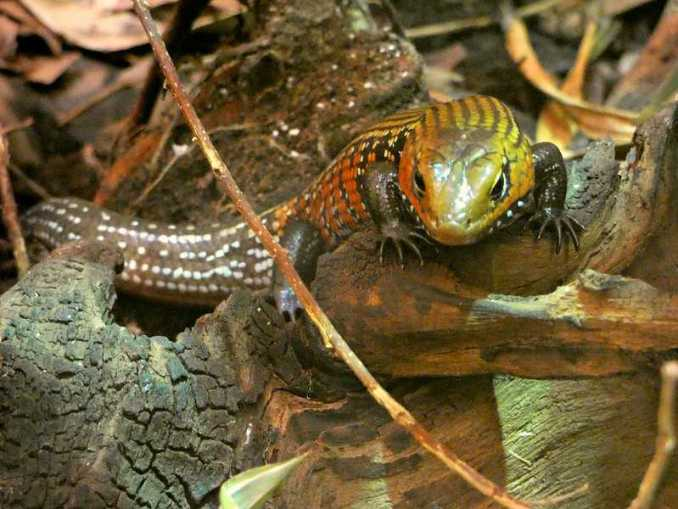 African Fire Skink