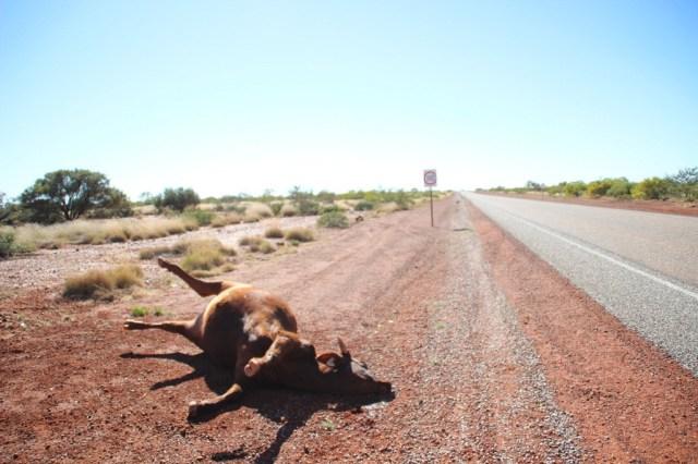Was hier passiert ist wissen wir nicht. Nur Road Trains könnten Kühe anfahren aber die Kuh hatte keinerlei Verletzungen