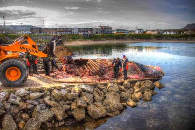 Der Wal wird fachgerecht zerlegt. Er kommt nach Toronto ins Museum