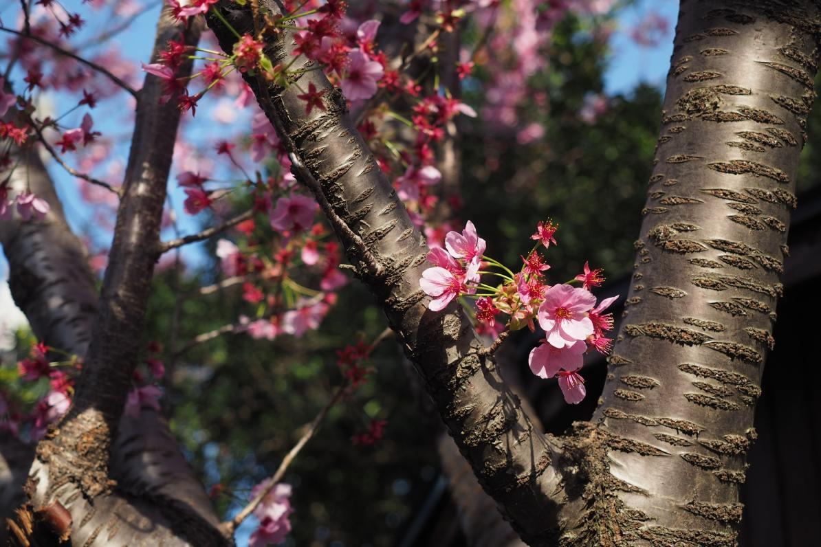 4 Ways To Differentiate Plum Trees Vs Cherry Trees Wander Eat Write