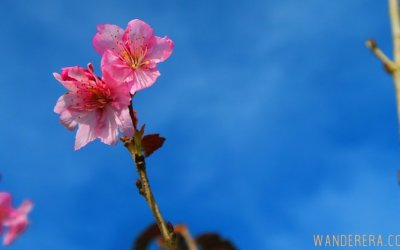 Check out the Sakura Flowers in Atok, Benguet