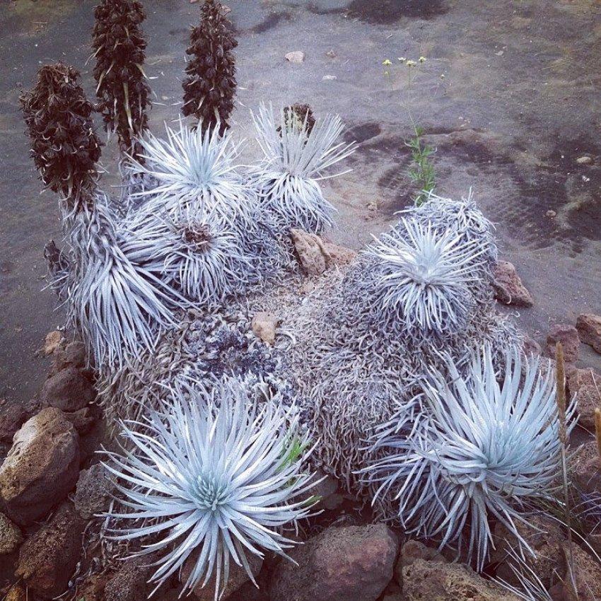 Ahinahina Silversword Plant, Hawaii