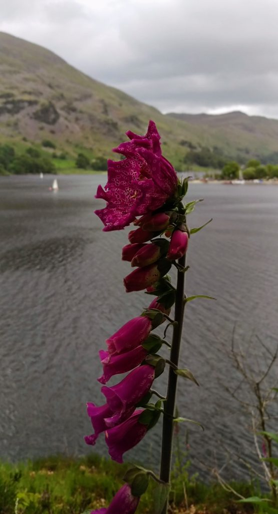 Lake District Thistle