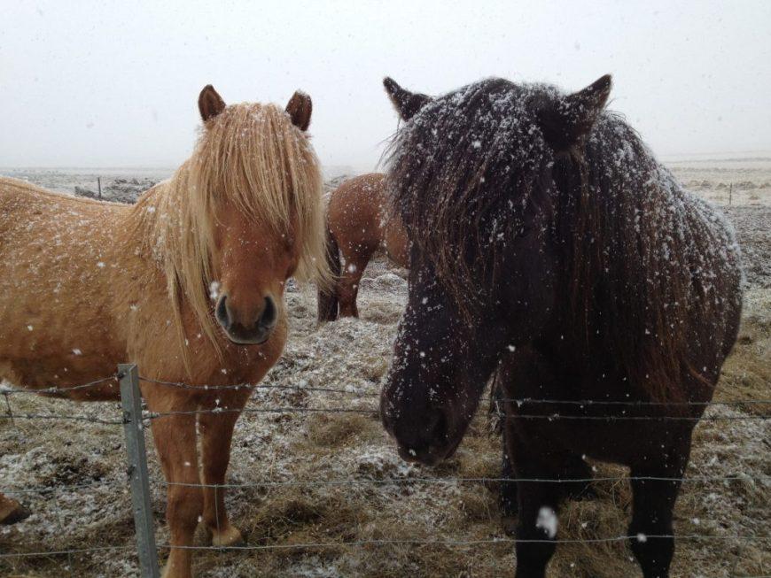 Icelandic Horses, Golden Circle, Iceland
