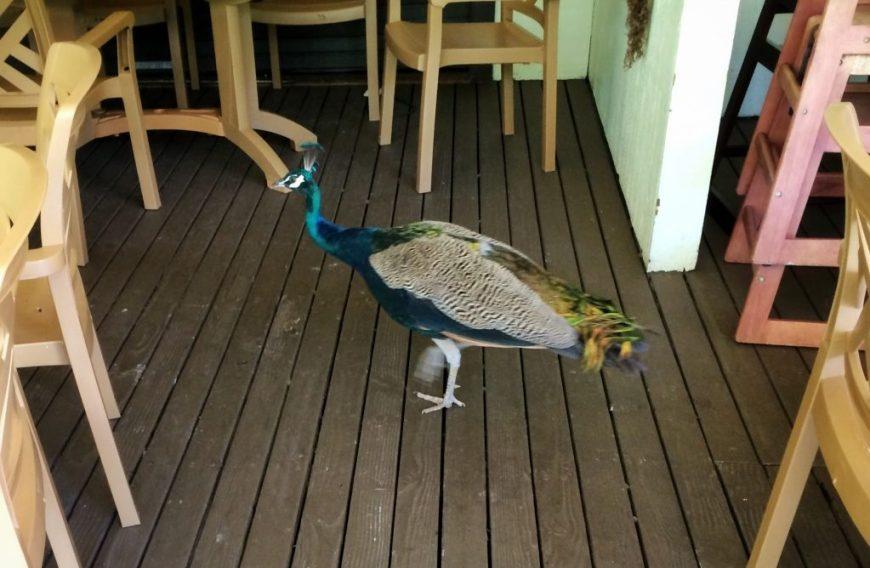 Peacock, Waimea Valley, Hawaii
