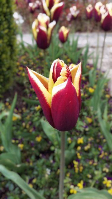 Tulips at Powerscourt Gardens, Ireland