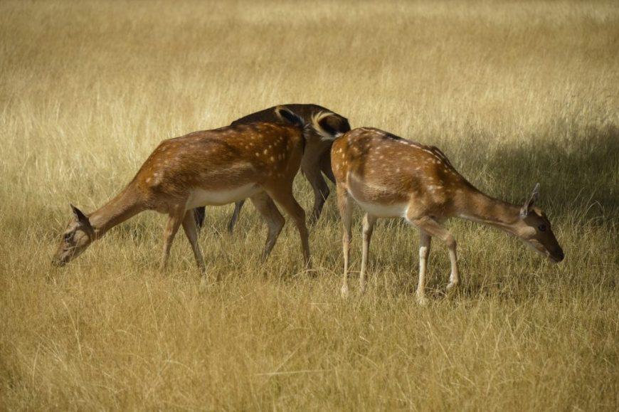 Surrey Deer