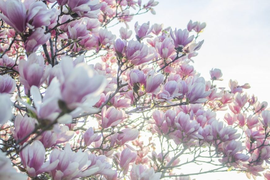 pink-spring-tree-blossoms