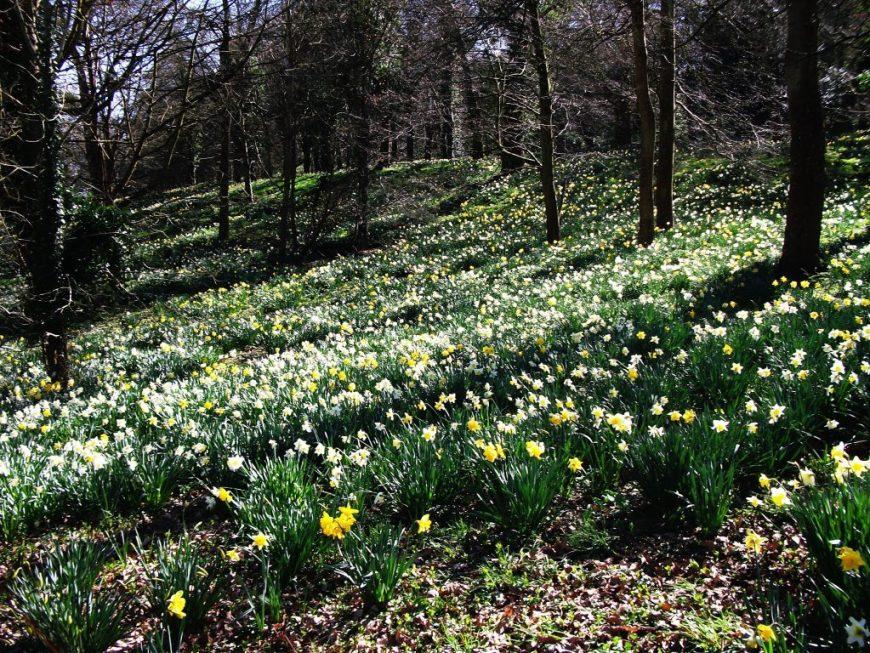 Mount Edgcumbe daffodils