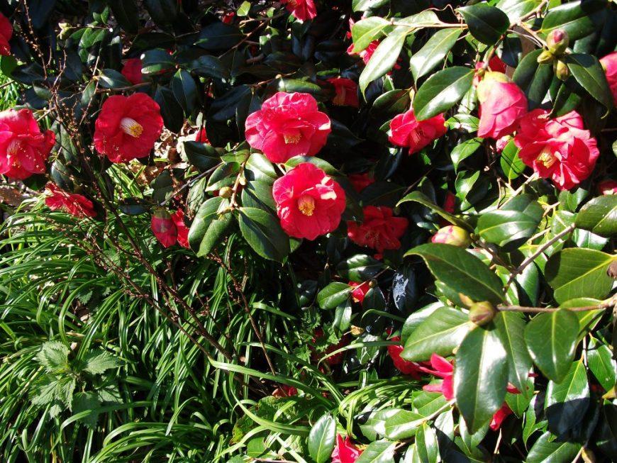 Mount Edgcumbe flowers