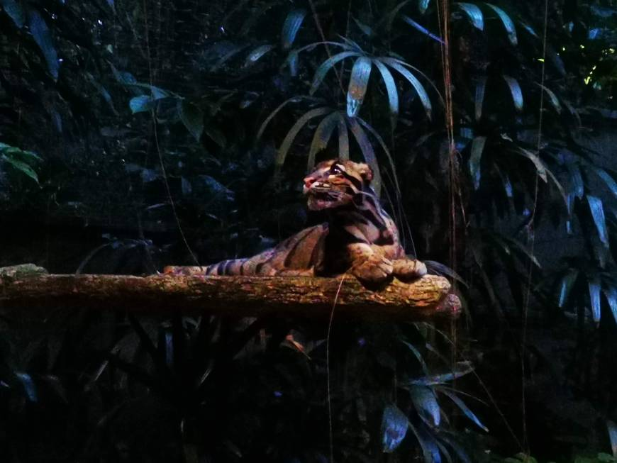 Clouded Leopard inside Singapore Night Safari