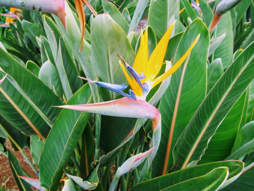 Bird of Paradise Flower in Madeira