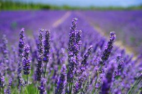 France Lavender Field