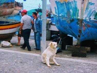 Golden Retriever dog in Camara do Lobos, Madeira