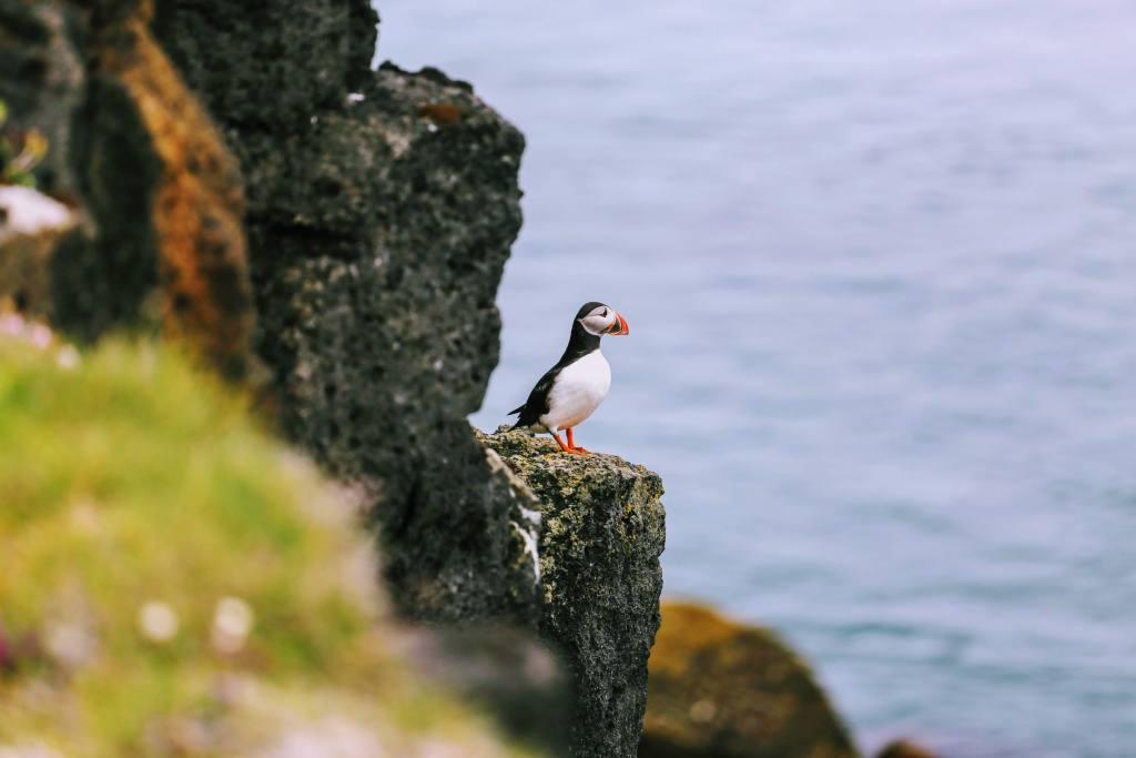 Puffins on Lundy Island in Devon