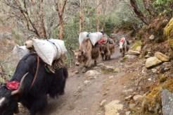 Yak on their way to Tengboche