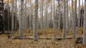 Aspen forest.