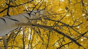 Aspen in October. Snow Bowl