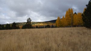 Aspens in Flagstaff