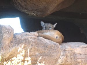 Mountain Lion in the Arizona-Sonora Desert Museum