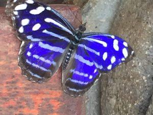 Butterfly in La Paz Gardens Costa Rica