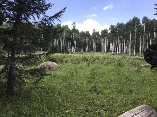 Aspen growth off the Kachina Trail
