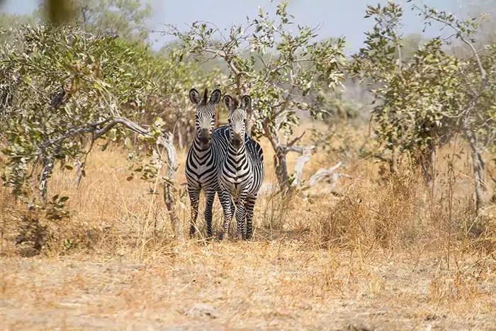 Zebre a deux tetes