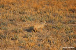 A desert fox out to hunt