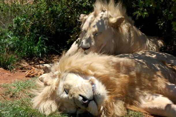 Lions, white lions, South Africa, animals