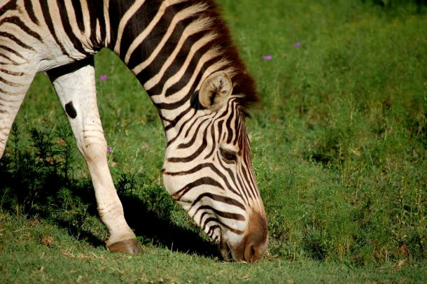 Zebra, South African animals