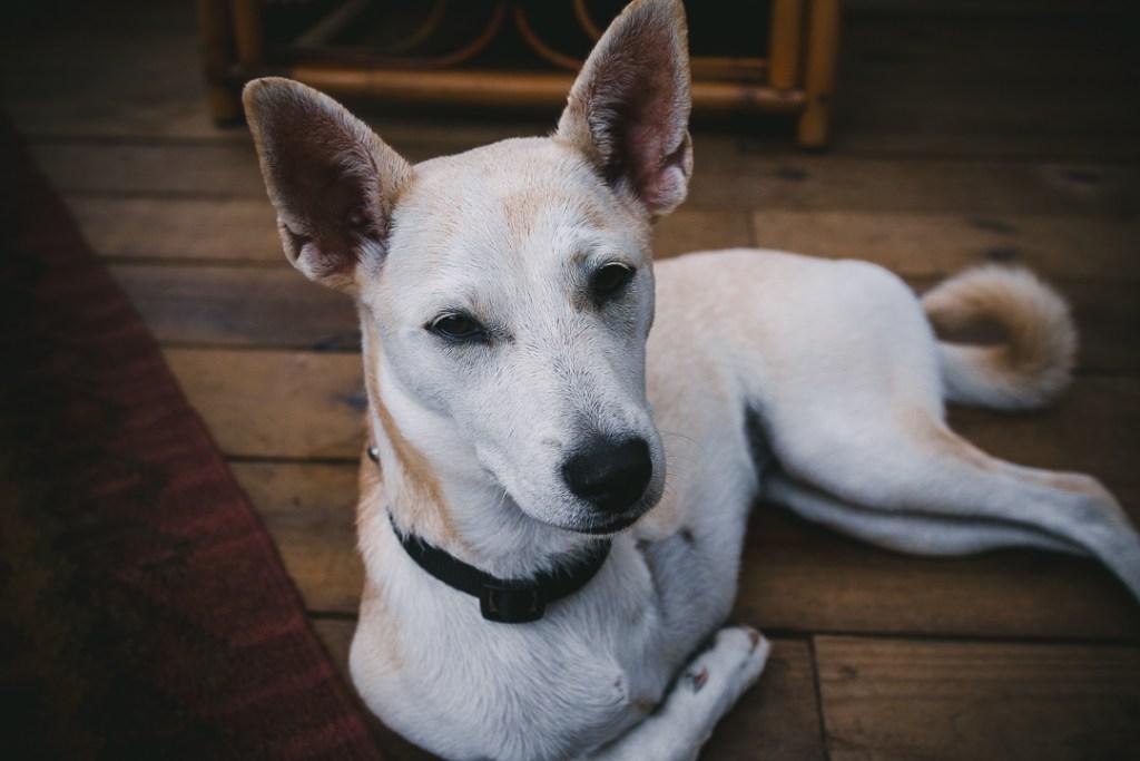 Finca Victoria, Vieques, Puerto Rico, Hotel, dog