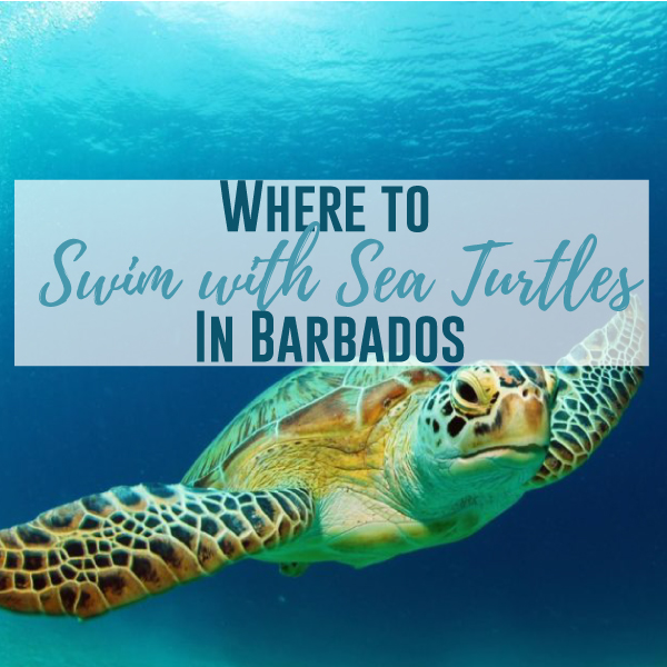 Where To Swim With Sea Turtles In Barbados Wandering Bajans