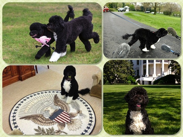 The Obama family's Portuguese Water Dogs, Bo and Sunny (with pink ribbon). Photos from nydailynews.com, nytimes.com, en.wikipedia.org, and hellomagazine.com