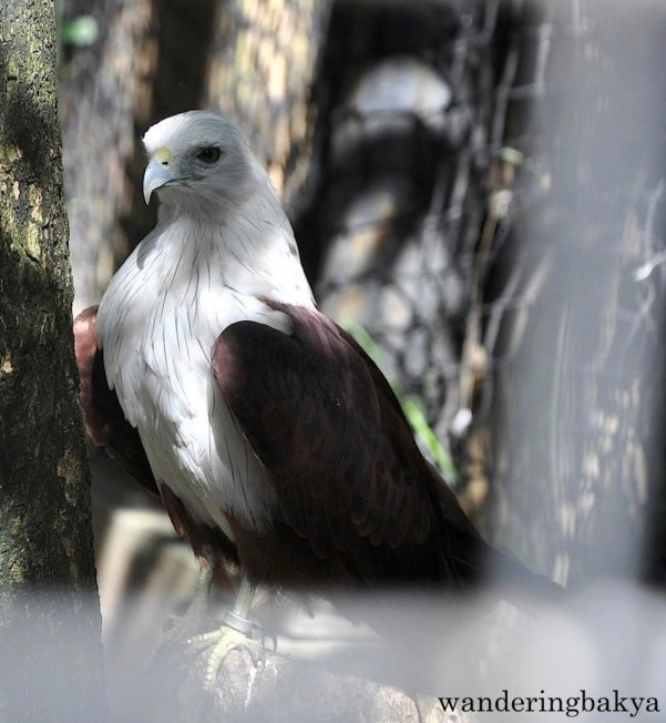 Brahminy Kite. Brahminy kites have long, sharp curved claws but they have weak feet. They cannot take large preys. However, they are experts at snatching prey in flight. The Brahminy kites in Ninoy Aquino Parks and Wildlife Center are abandoned, confiscated and rescued. All of these according to the tarpaulin hanged near the cage.