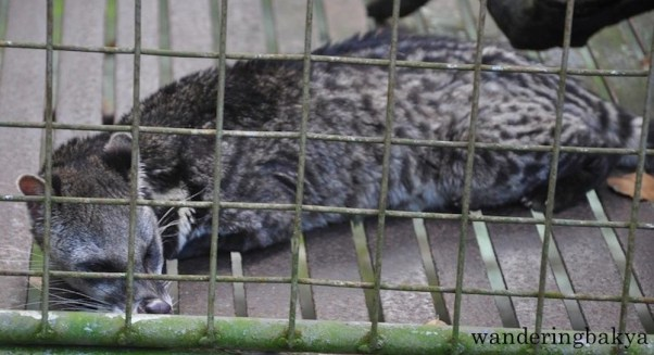 Malay Civet (local name alamid)