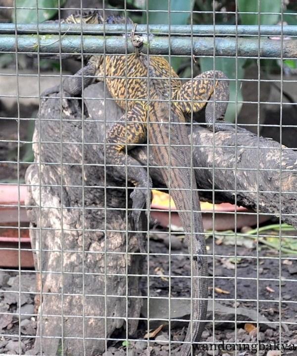 Philippine Sailfin Lizard (local name ibid)